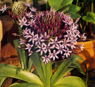 Fotografía de la planta Flor de la corona