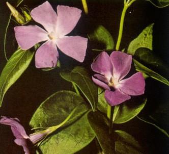 Fotografía de la planta Vincapervinca mayor