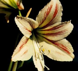 Fotografía de la planta Amarilis del perú