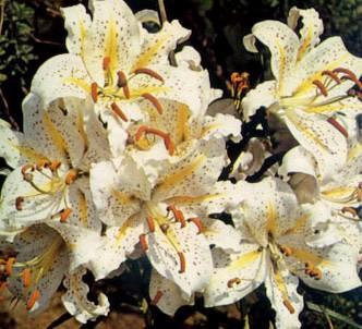 Fotografía de la planta Lirio dorado