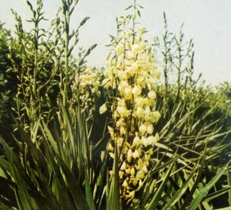 Fotografía de la planta Yuca
