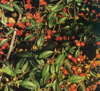 Fotografía de la planta Cotoneaster
