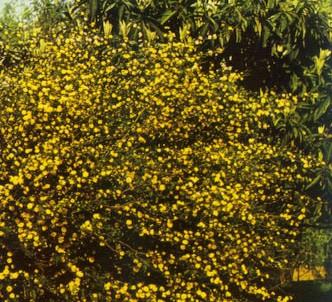 Fotografía de la planta Querria
