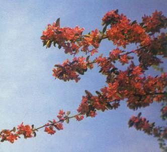 Fotografía de la planta Manzano rojo