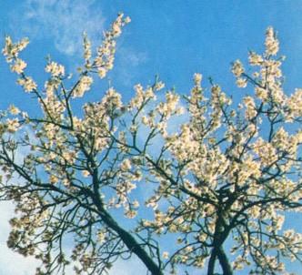 Fotografía de la planta Almendro