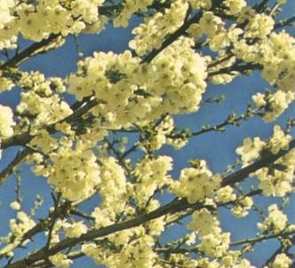 Fotografía de la planta Cerezo silvestre