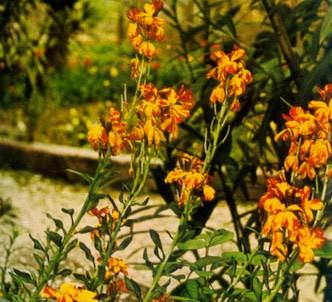 Fotografía de la planta Alheli amarillo