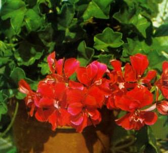 Fotografía de la planta Geranio de hiedra - Gitanilla