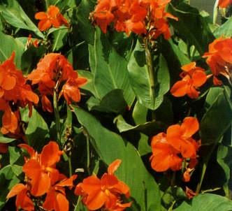 Fotografía de la planta Caña de indias