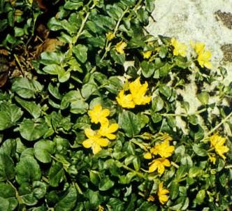 Fotografía de la planta Hierba de la moneda