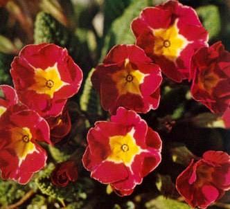 Fotografía de la planta Primavera