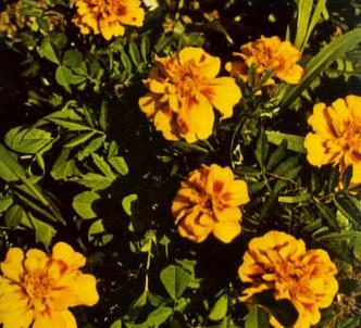 Fotografía de la planta Clavel de moro - Damasquina