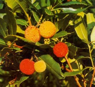 Fotografía de la planta Madroño