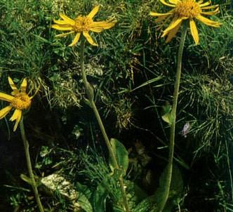 Fotografía de la planta Árnica