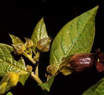 Fotografía de la planta Belladona