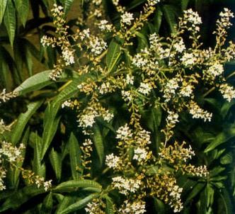 Fotografía de la planta Hierba luisa