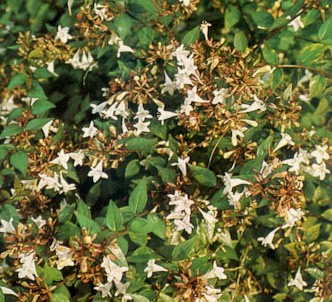 Fotografía de la planta Abelia