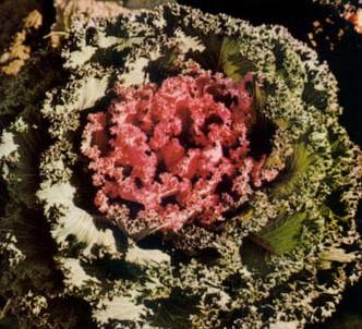 Fotografía de la planta Berza ornamental