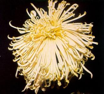 Fotografía de la planta Crisantemo flores tubulares