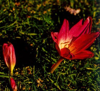 Fotografía de la planta Cólquico