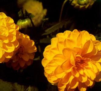 Fotografía de la planta Dalia pompón