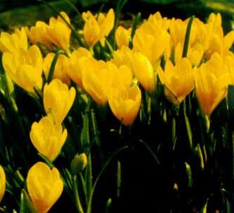 Fotografía de la planta Azucena amarilla