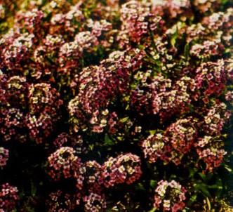 Fotografía de la planta Aliso