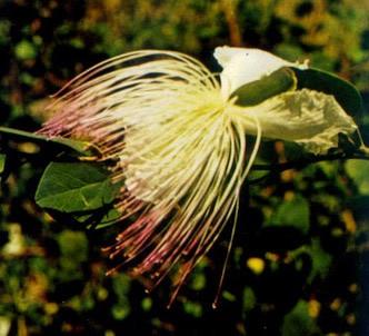 Fotografía de la planta Alcaparro
