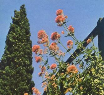 Fotografía de la planta Milamores