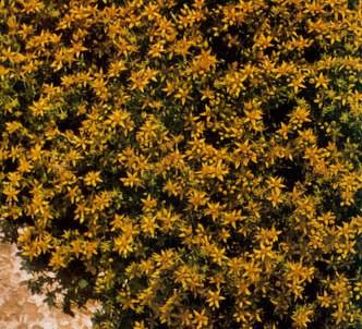 Fotografía de la planta Pimienta de muros - Pampajarito