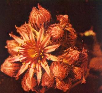 Fotografía de la planta Consolva