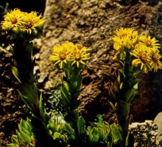 Fotografía de la planta Siempreviva amarilla
