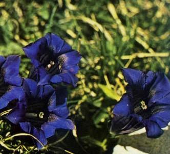 Fotografía de la planta Genciana alpina