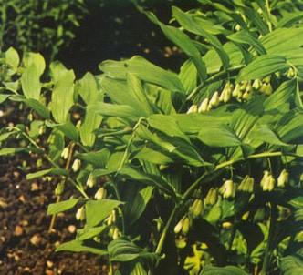 Fotografía de la planta Sello de salomón