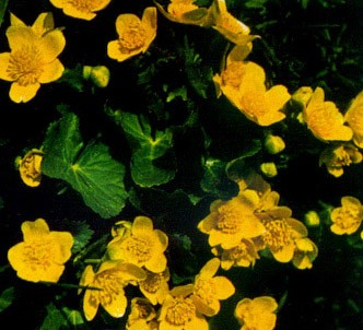 Fotografía de la planta Hierba centella