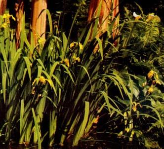 Fotografía de la planta Lirio espadañal