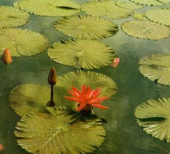 Fotografía de la planta Nenúfar rojo