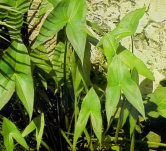 Fotografía de la planta Sagitaria