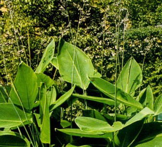 Fotografía de la planta Talia