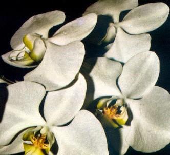 Fotografía de la planta Phalaenopsis
