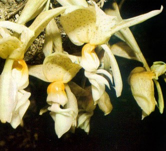 Fotografía de la planta Stanhopea