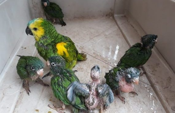 Rescatan a siete loritos que estaban en cautiverio y listos para ser comercializados