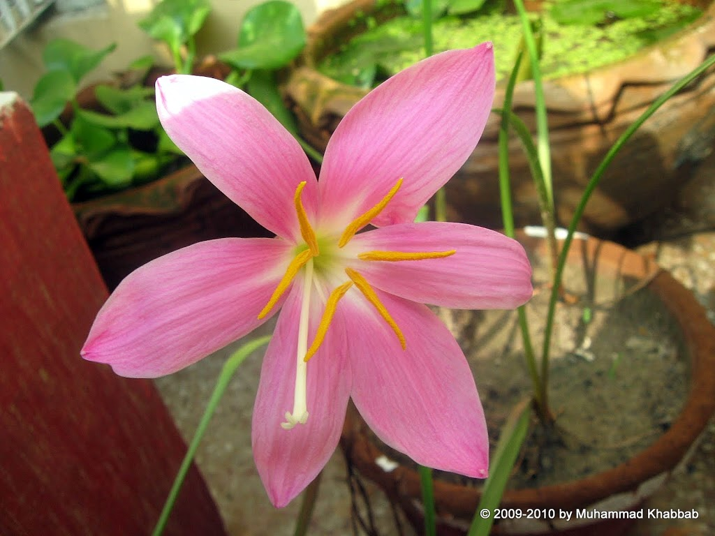 Growing Flowering bulbs in warm climates  Rain lily