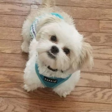 Kane Turner, a Shih Tzu rescue dog with Lend A Helping Paw Shih Tzu Rescue (LAHPSTR)