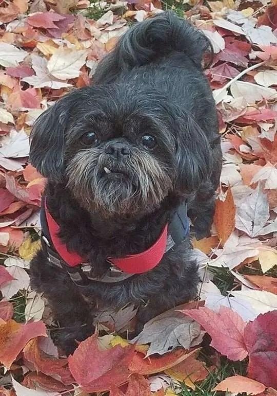 Teddy Bear Turner, a Shih Tzu rescue dog with Lend A Helping Paw Shih Tzu Rescue (LAHPSTR)