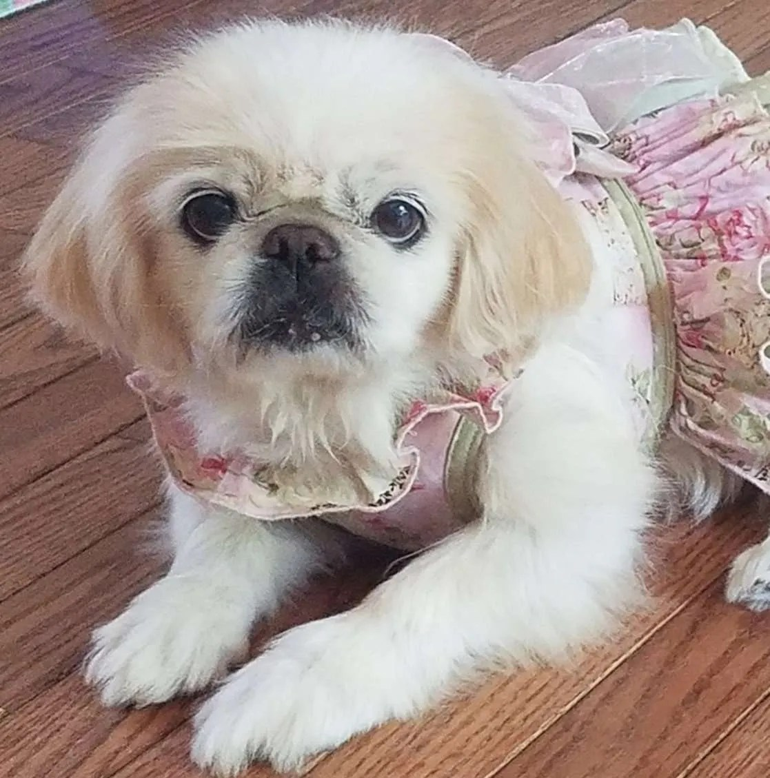 Dakota Buckeye, a Pekingese rescue dog with Lend A Helping Paw Shih Tzu Rescue (LAHPSTR)