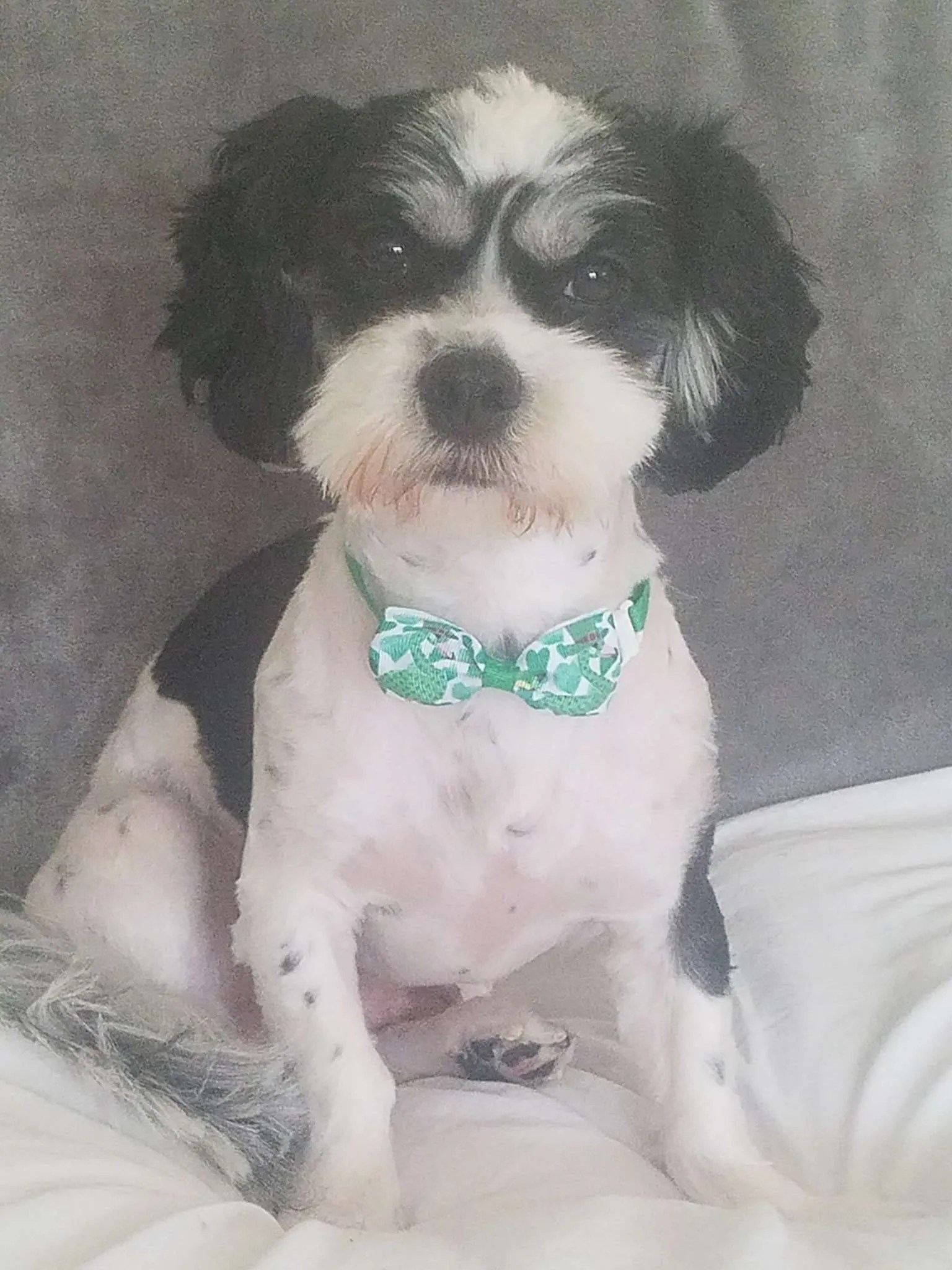 Connor Turner, a Havanese mix rescue dog with Lend A Helping Paw Shih Tzu Rescue (LAHPSTR)