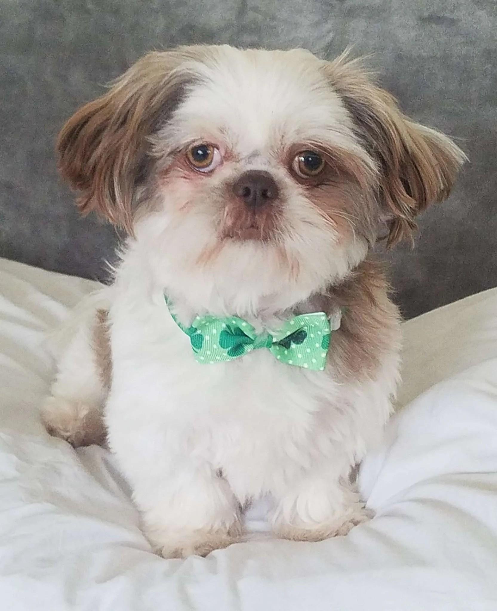 Logan Turner, a Shih Tzu rescue dog with Lend A Helping Paw Shih Tzu Rescue (LAHPSTR)