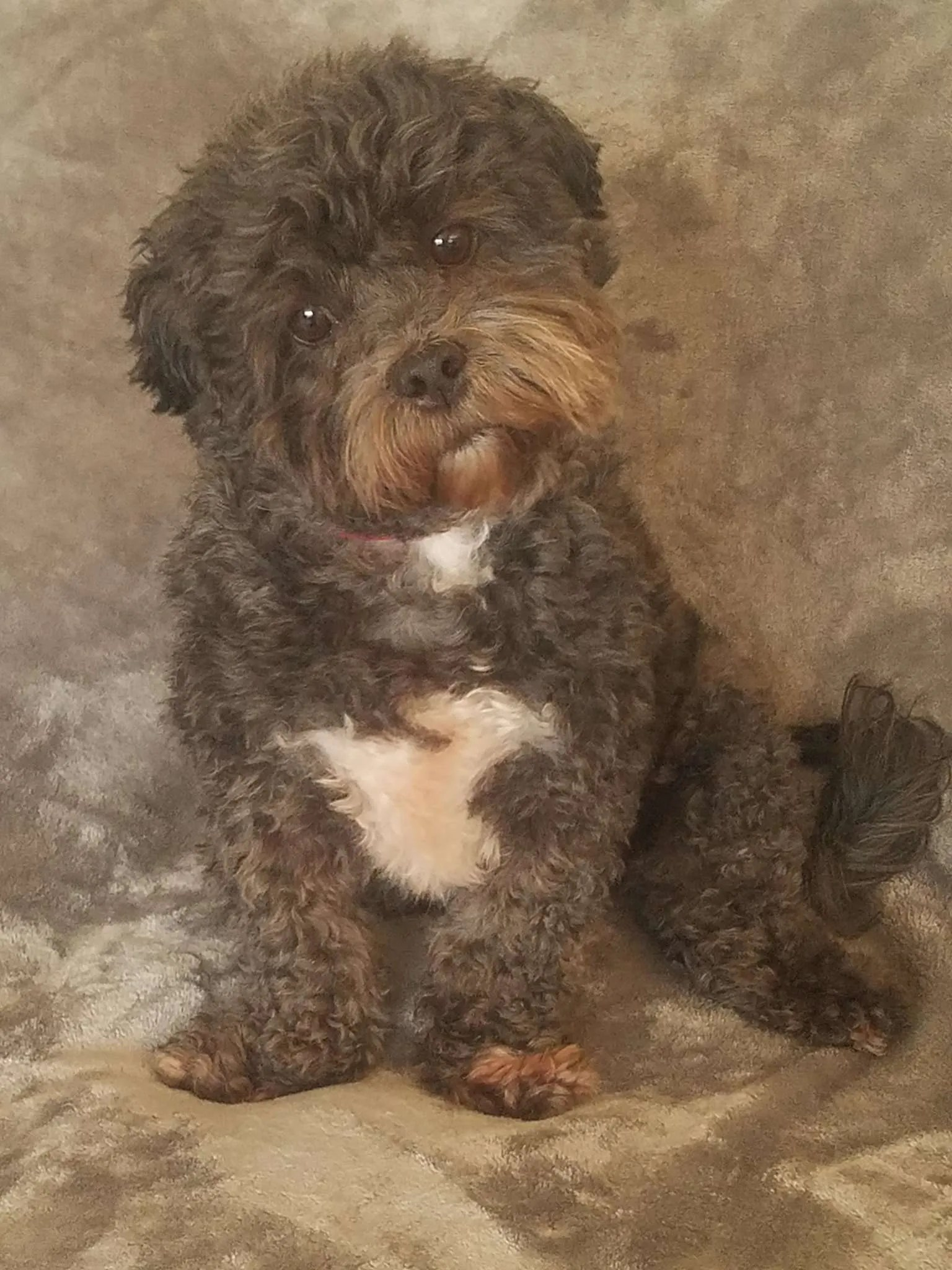 Murphy Turner, a Poodle mix rescue dog with Lend A Helping Paw Shih Tzu Rescue (LAHPSTR)