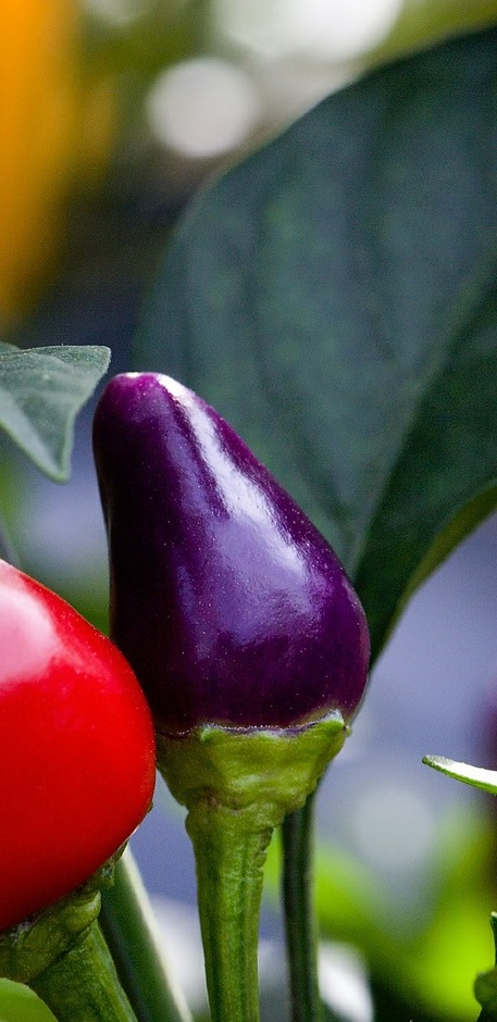 peppers-619125_1920